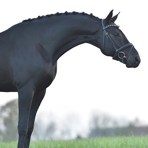Photo of a stallion